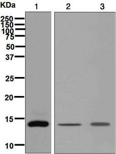 Western blot - Anti-I-FABP antibody [EPR7136] (ab128860)