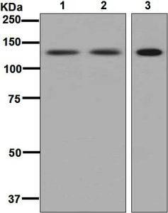 Western blot - Anti-SF3A1 antibody [EPR7666] (ab128868)