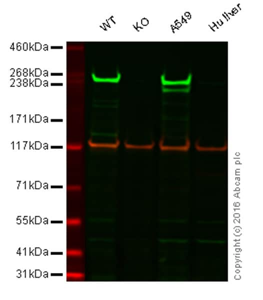 Western blot - Anti-Fatty Acid Synthase antibody [EPR7466] (ab128870)