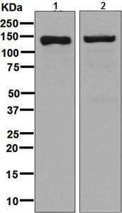 Western blot - Anti-CTCF antibody [EPR7314(B)] - ChIP Grade (ab128873)