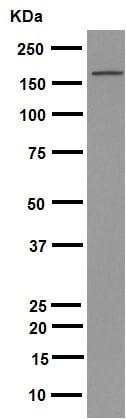 Western blot - Anti-Brd4 antibody [EPR5150(2)] (ab128874)