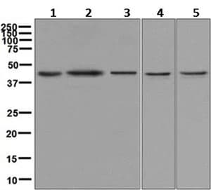 Western blot - Anti-JunB antibody [EPR6518] (ab128878)