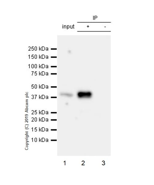 Immunoprecipitation - Anti-JunB antibody [EPR6518] (ab128878)