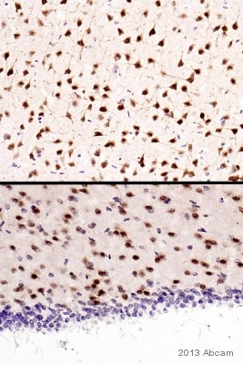 Immunohistochemistry (Formalin/PFA-fixed paraffin-embedded sections) - Anti-NeuN antibody - Neuronal Marker (ab128886)