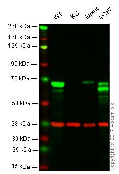 Western blot - Anti-SPAK antibody [EPR6394] (ab128894)