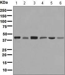 Western blot - Anti-ALKBH1 antibody [EPR6175(2)] (ab128895)