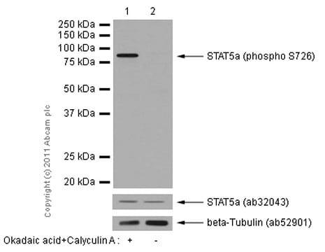 Western blot - Anti-STAT5a (phospho S726) antibody [EPR1914(2)] (ab128896)