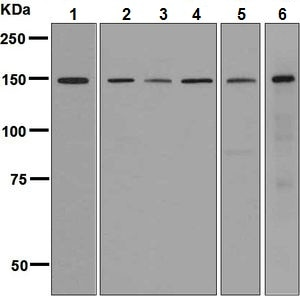 Western blot - Anti-CTCF antibody [EPR7313] (ab128909)