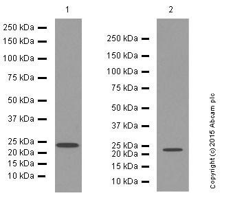Western blot - Anti-Rab11A antibody [EPR7587(B)] (ab128913)