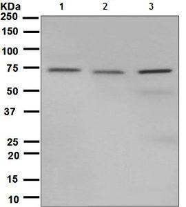 Western blot - Anti-Hsp75  antibody [EPR5382] (ab128914)
