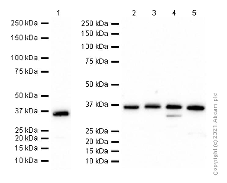 Western blot - Anti-HGFA Inhibitor 2 antibody [EPR6283(2)] (ab128926)