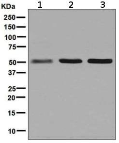 Western blot - Anti-Glutathione Reductase antibody [EPR7237] (ab128933)