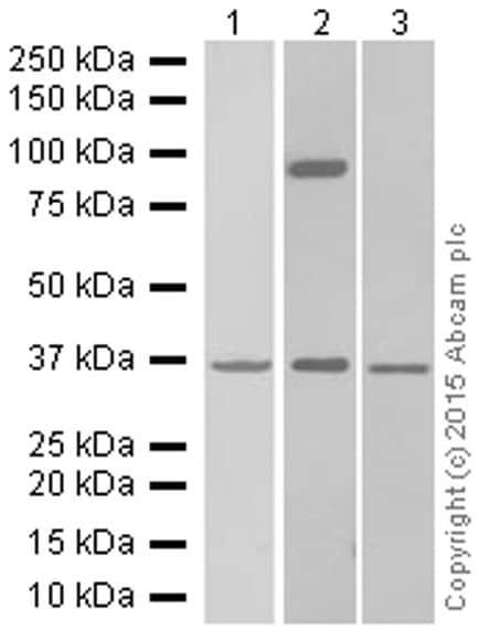 Western blot - Anti-Syndecan-1 antibody [EPR6454] (ab128936)