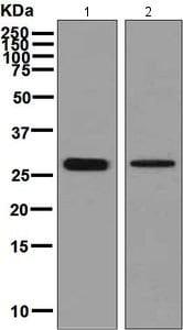 Western blot - Anti-CLIC3 antibody [EPR8243(B)] (ab128941)
