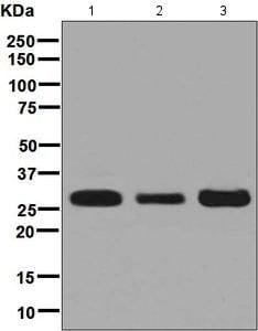 Western blot - Anti-SBDS antibody [EPR7820] (ab128946)