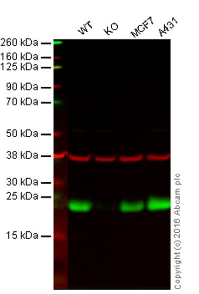 Western blot - Anti-Peroxiredoxin 3/PRDX3 antibody [EPR8115] (ab128953)