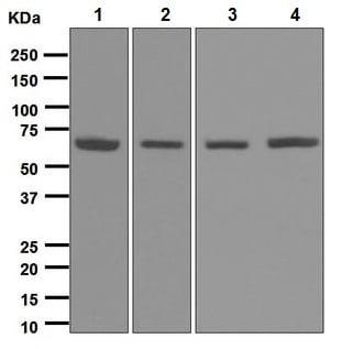 Western blot - Anti-RARS antibody [EPR6298] (ab128956)