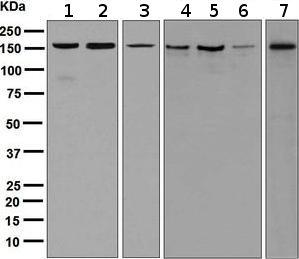 Western blot - Anti-eIF3A antibody [EPR5819(2)] (ab128996)