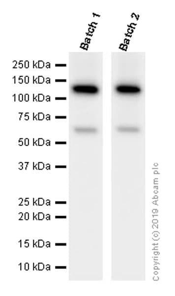 Western blot - Anti-Vinculin antibody [EPR8185] (ab129002)