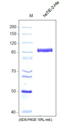 SDS-PAGE - Recombinant human TIE2 protein (ab129039)