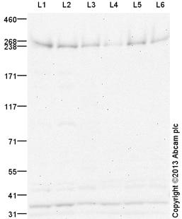 Western blot - Anti-NG2 antibody (ab129051)