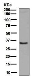 Western blot - Anti-Alpha 1 microglobulin antibody [EPR5880] (ab129059)