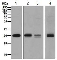 Western blot - Anti-RAC3 antibody [EPR6680] (ab129062)