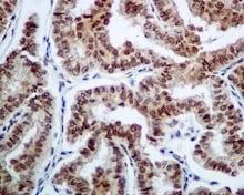 Immunohistochemistry (Formalin/PFA-fixed paraffin-embedded sections) - Anti-BANF1/BAF antibody [EPR7669] (ab129074)