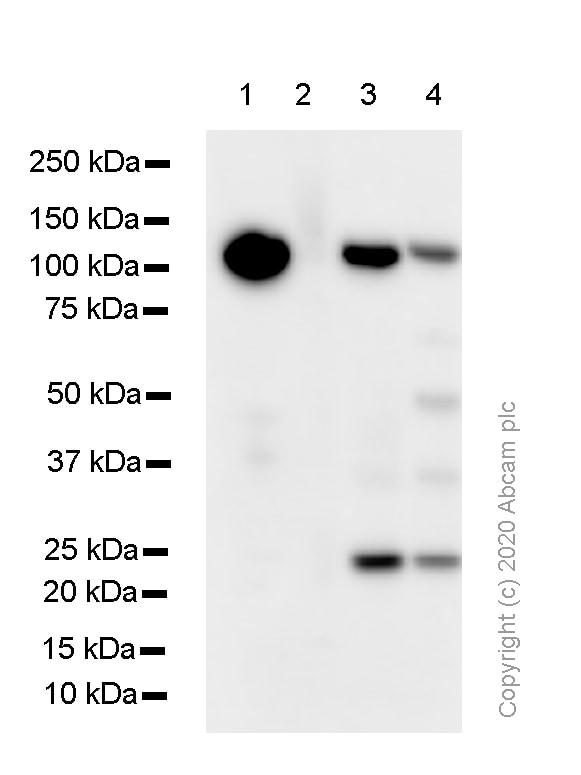 Western blot - Anti-M Cadherin antibody [EP5756] (ab129078)