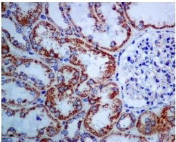 Immunohistochemistry (Formalin/PFA-fixed paraffin-embedded sections) - Anti-Citrate synthetase antibody [EPR8066] (ab129088)
