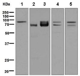 Western blot - Anti-FXR1 antibody [EPR7932] (ab129089)