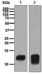 Western blot - Anti-PF4 antibody [EPR7762] (ab129090)