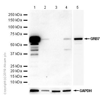 Western blot - Anti-GRB7 antibody [EPR6858] (ab129091)