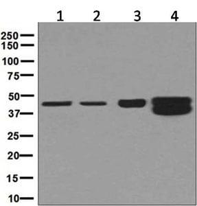 Western blot - Anti-HMBS/PBGD antibody [EPR8105] (ab129092)