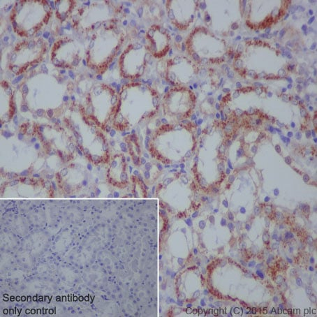 Immunohistochemistry (Formalin/PFA-fixed paraffin-embedded sections) - Anti-Citrate synthetase antibody [EPR8067] (ab129095)
