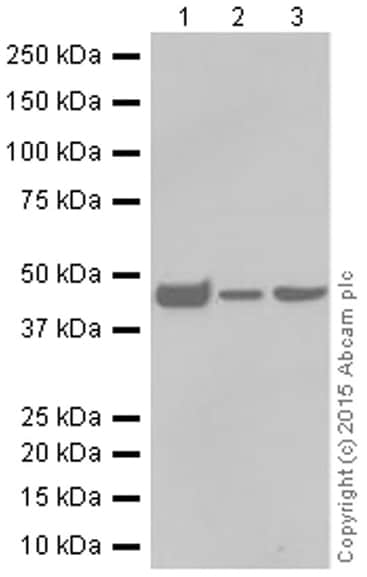 Western blot - Anti-Citrate synthetase antibody [EPR8067] (ab129095)