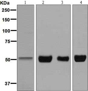 Western blot - Anti-Endothelin B Receptor/ET-B antibody [EPR7013] (ab129102)