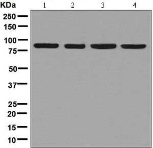 Western blot - Anti-Aconitase 2 antibody [EPR8283(B)] (ab129105)