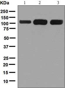 Western blot - Anti-SMG5 antibody [EPR3503(2)] (ab129107)