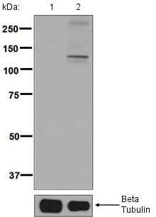 Western blot - Anti-KSR1 (phospho S392) antibody [EPR2359(2)] (ab129111)