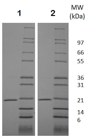 SDS-PAGE - Recombinant mouse RANKL protein (Active) (ab129136)