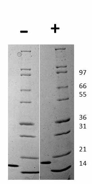 Other - Recombinant mouse Flt3 ligand/Flt3L protein (ab129139)