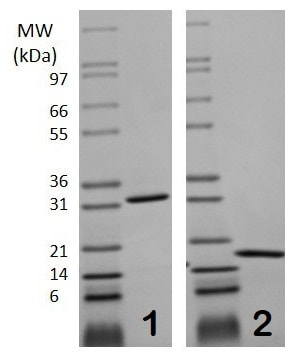 Pulse Labelling - Recombinant mouse M-CSF protein (ab129146)