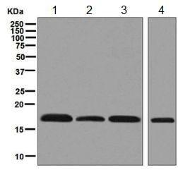 Western印迹-抗HMGA1抗体[EPR7839 ](AB129153)