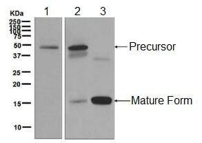 Western blot - Anti-BMP7 antibody [EPR5897] (ab129156)