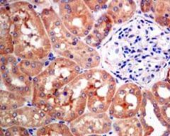 Immunohistochemistry (Formalin/PFA-fixed paraffin-embedded sections) - Anti-NARS antibody [EPR8221] (ab129162)