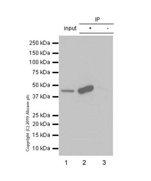 Immunoprecipitation - Anti-MAT1A antibody [EPR7938] (ab129176)