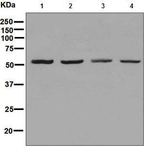 Western blot - Anti-TRF1 antibody [EPR6313] (ab129177)