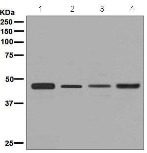 免疫印迹-抗CtBP1抗体[EPR6800](ab129181)