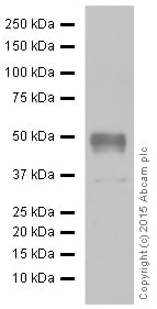 Western blot - Anti-NAPSIN A antibody [EPR6257] (ab129189)